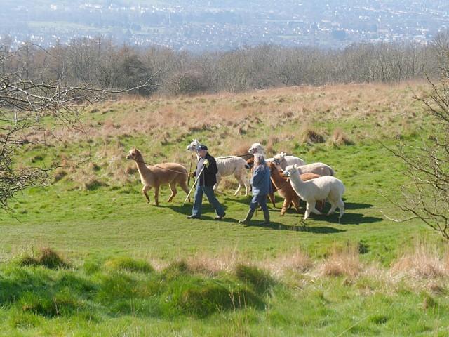 Alpacas on Cleeve Hill